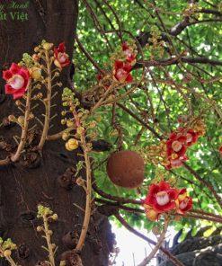 cây sala