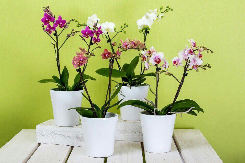 bán cây phong lan tại bắc ninh
