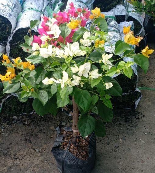 cây hoa giấy ngũ sắc